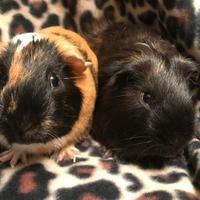 Adopt A Pet :: Dusty - Edmond, OK