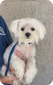 Maltese Dog for adoption in Mount Pleasant, South Carolina - Colonel