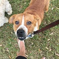Adopt A Pet :: Cheddar - Houston, TX