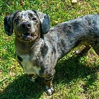 Adopt A Pet :: Chance - Temple, GA