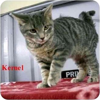 Domestic Shorthair Kitten for adoption in Slidell, Louisiana - Kernel