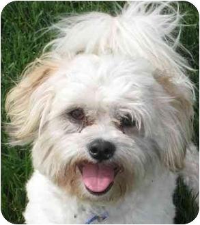 Shih Tzu/Maltese Mix Dog for adoption in Columbus, Nebraska - Scooter