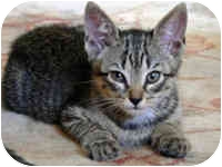 Domestic Shorthair Kitten for adoption in Tampa, Florida - Tiny