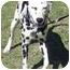 Photo 3 - Dalmatian Dog for adoption in Mandeville Canyon, California - Riva