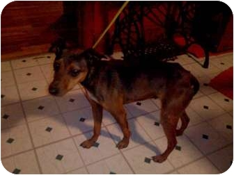 Miniature Pinscher Mix Dog for adoption in Xenia, Ohio - Puppy
