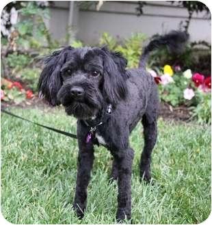 Scottie, Scottish Terrier/Poodle (Miniature) Mix Dog for adoption in Newport Beach, California - BRONSON