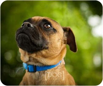 Pug/Beagle Mix Dog for adoption in Ile-Perrot, Quebec - SCOUT