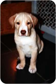 Labrador Retriever Mix Puppy for adoption in FOSTER, Rhode Island - Boy Puppies...