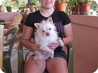 Chihuahua Dog for adoption in Greenville, Rhode Island - Wilbur