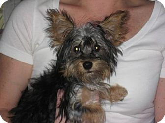 Yorkie, Yorkshire Terrier Puppy for adoption in Greenville, Rhode Island - Eleanor
