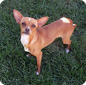 Chihuahua Dog for adoption in Oak Creek, Wisconsin - Alisa