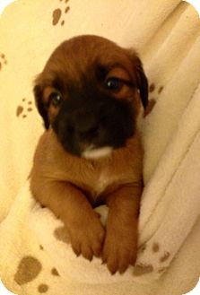 Retriever (Unknown Type) Mix Puppy for adoption in Walker, Louisiana - Ellie