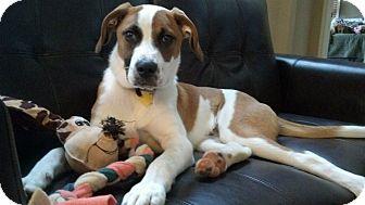 St. Bernard Mix Puppy for adoption in Clarksville, Tennessee - Bruce