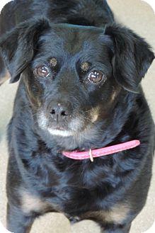 Cavalier King Charles Spaniel/Pekingese Mix Dog for adoption in Brookings, South Dakota - Lady
