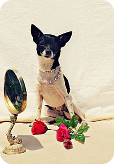 Chihuahua Dog for adoption in Harrodsburg, Kentucky - Prissy