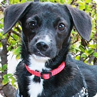Adopt A Pet :: Saucy - Gilbert, AZ