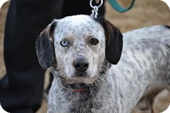 Australian Cattle Dog Dog for adoption in Parkville, Missouri - Winter