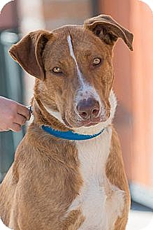 Collie/Pointer Mix Dog for adoption in Pasadena, California - FRECKLES