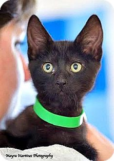 Domestic Shorthair Kitten for adoption in Knoxville, Tennessee - Conway