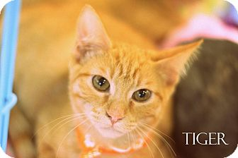 Domestic Shorthair Kitten for adoption in Mansfield, Texas - Tiger