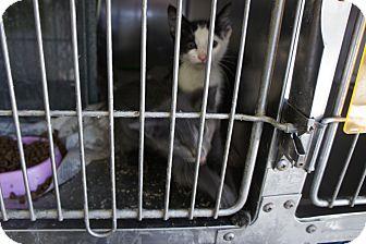 Domestic Shorthair Kitten for adoption in Henderson, North Carolina - Sage Kittens