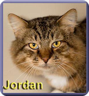 Maine Coon Cat for adoption in Aldie, Virginia - Jordan