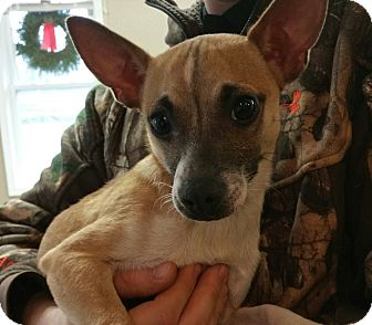 Chihuahua Mix Dog for adoption in Lisbon, Ohio - Neville