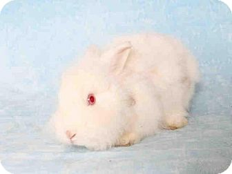 Lionhead Mix for adoption in Los Angeles, California - Timothy