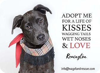 Labrador Retriever/Blue Lacy/Texas Lacy Mix Puppy for adoption in Houston, Texas - Remington