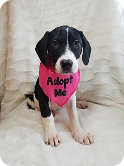 Labrador Retriever/Catahoula Leopard Dog Mix Puppy for adoption in Elkton, Maryland - Becca
