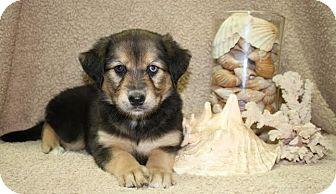 Border Collie Mix Puppy for adoption in Brattleboro, Vermont - Cottonelle