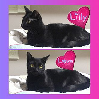 Domestic Shorthair Kitten for adoption in Jeffersonville, Indiana - Lily