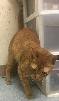 Domestic Shorthair Cat for adoption in Warrensburg, Missouri - Alice