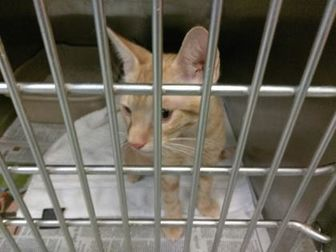 American Shorthair/Domestic Shorthair Mix Cat for adoption in Los Lunas, New Mexico - JUICE