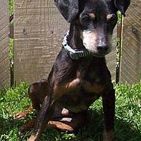 Adopt A Pet :: Will - Bridgeton, MO
