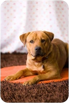 Bullmastiff Mix Dog for adoption in Portland, Oregon - Luther