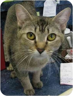 Abyssinian Cat for adoption in Battleground, Indiana - Asha