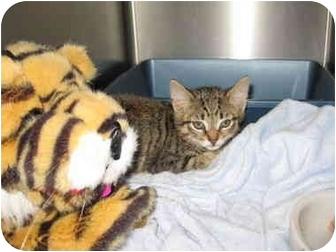 Domestic Shorthair Kitten for adoption in Randolph, New Jersey - Tabby Baby