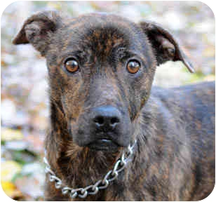 Terrier (Unknown Type, Small)/Plott Hound Mix Dog for adoption in Chicago, Illinois - DQ
