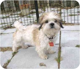 Shih Tzu Mix Dog for adoption in Ile-Perrot, Quebec - MOOKIE