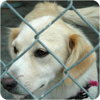 Cocker Spaniel/Nova Scotia Duck-Tolling Retriever Mix Dog for adoption in Ripley, Tennessee - Peaches