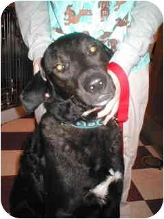 Labrador Retriever/Chesapeake Bay Retriever Mix Dog for adoption in Rockville, Maryland - Lammie