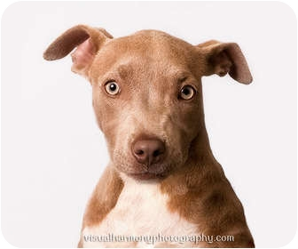 American Pit Bull Terrier Mix Puppy for adoption in Phoenix, Arizona - TWINKLES