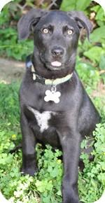 Weimaraner Mix Puppy for adoption in St. Louis, Missouri - Elvis