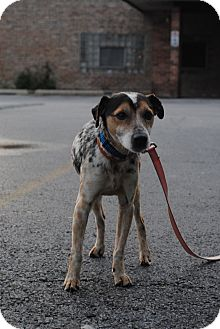 Jack Russell Terrier Mix Dog for adoption in Chicago, Illinois - Skillet