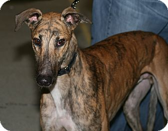 """Greyhound Dog for adoption in Smyrna, Tennessee - TRS Robster """"Rob"""""""