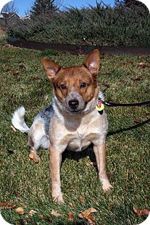 Australian Cattle Dog/Shiba Inu Mix Dog for adoption in Centennial, Colorado - Nijiko