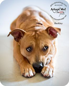 Beagle/Staffordshire Bull Terrier Mix Dog for adoption in Phoenix, Arizona - BARKLEY