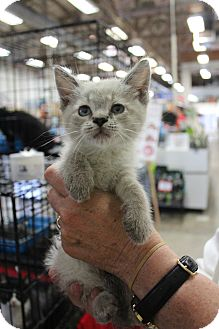 Siamese Kitten for adoption in Santa Monica, California - kitty10