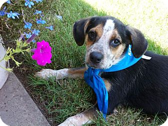 Beagle/Australian Cattle Dog Mix Puppy for adoption in Somers, Connecticut - Isabelle